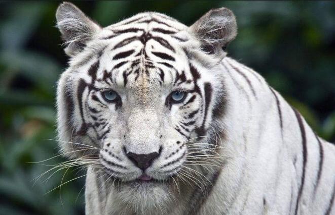 Тигр, самые красивые животные