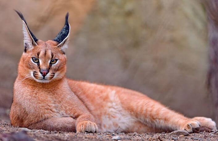 Каракал, самые красивые животные