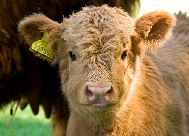 Хайлендская корова, самые красивые животные