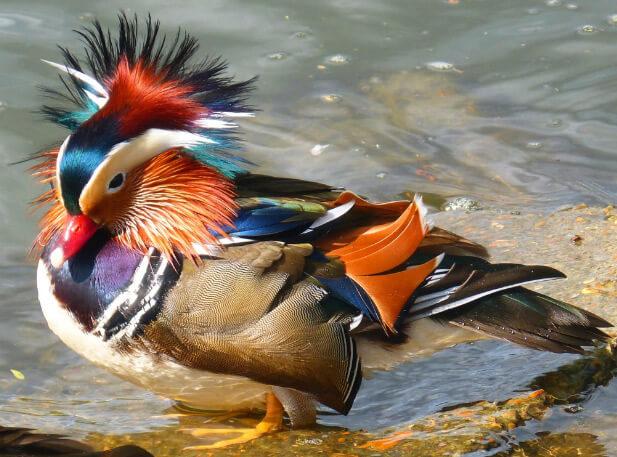 Утка-Мандаринка, самые красивые животные