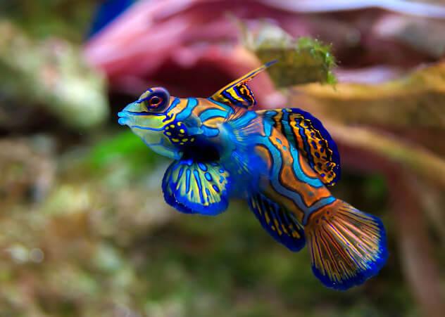 Рыба-мандаринка, самые красивые животные