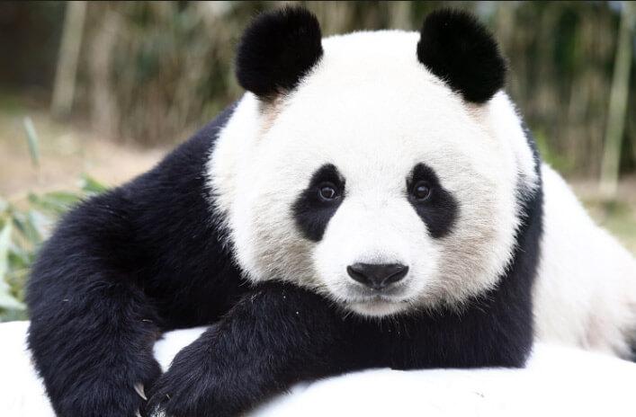 Большая панда, самые красивые животные
