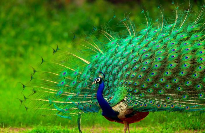 Павлин, самые красивые животные
