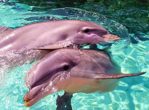 Розовый дельфин, самые красивые животные