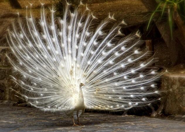 павлин альбинос, самые красивые животные