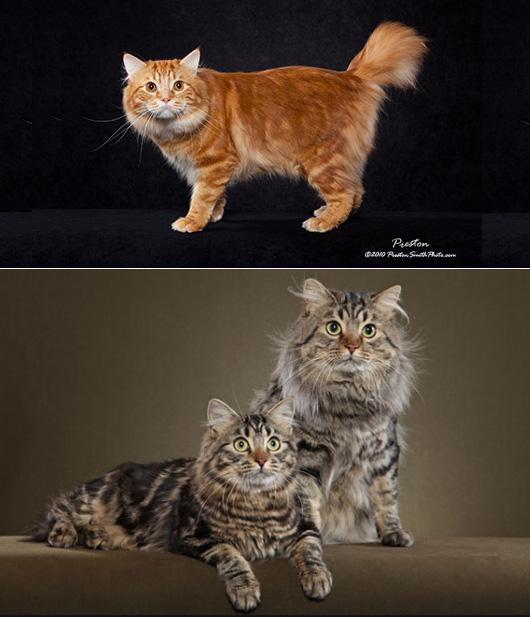 Американский бобтейл. American bobtail cat