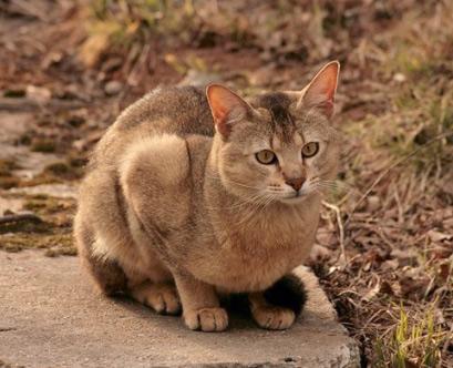 Чаузи / Chausie, Самые большие кошки домашние