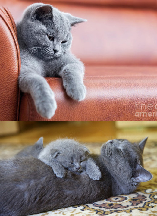 Британская короткошерстная / British Shorthair, Самые большие кошки домашние