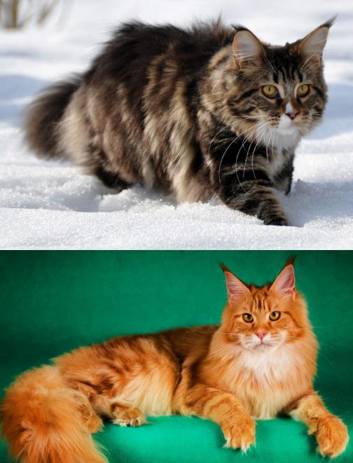 Мейн-кун / Maine Coon, Самые большие кошки домашние
