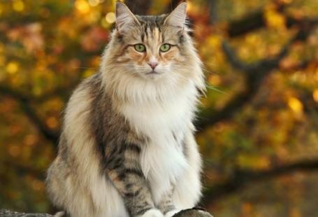Норвежская лесная / Norwegian Forest cat