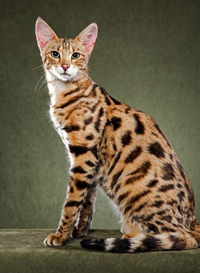 Саванна – самая большая порода кошек в мире / Savannah cat, Самые большие кошки домашние