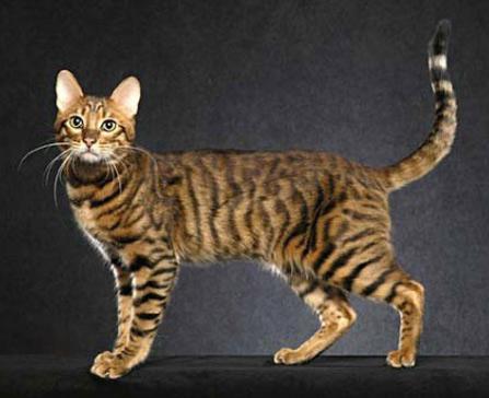 Серенгети / Serengeti cat, Самые большие кошки домашние