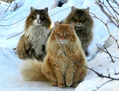 Сибирская кошка, Самые большие кошки домашние