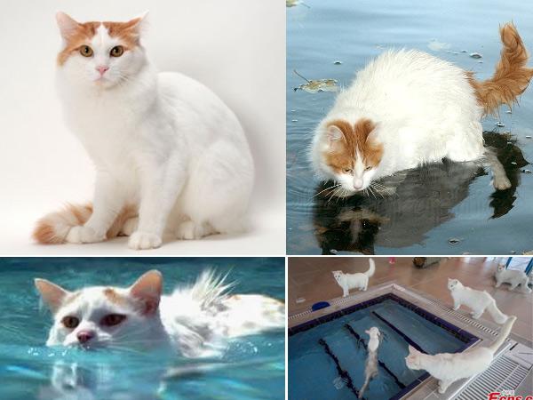 Турецкая ванская кошка. Turkish Van