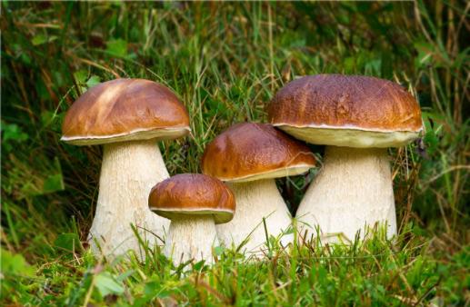 Белый гриб (боровик) - Boletus edulis, Самые дорогие грибы в мире