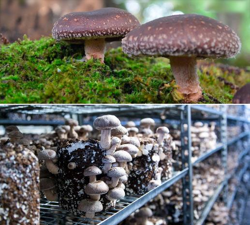 Шиитаке - Lentinula edodes, Самые дорогие грибы в мире