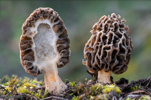 Морельс / Сморчок / Morchella или morel грибы, Самые дорогие грибы в мире