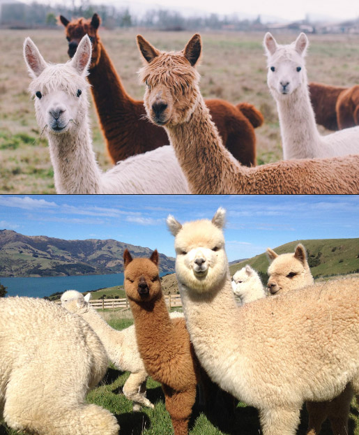 Alpaca / Альпака, Самые милые животные