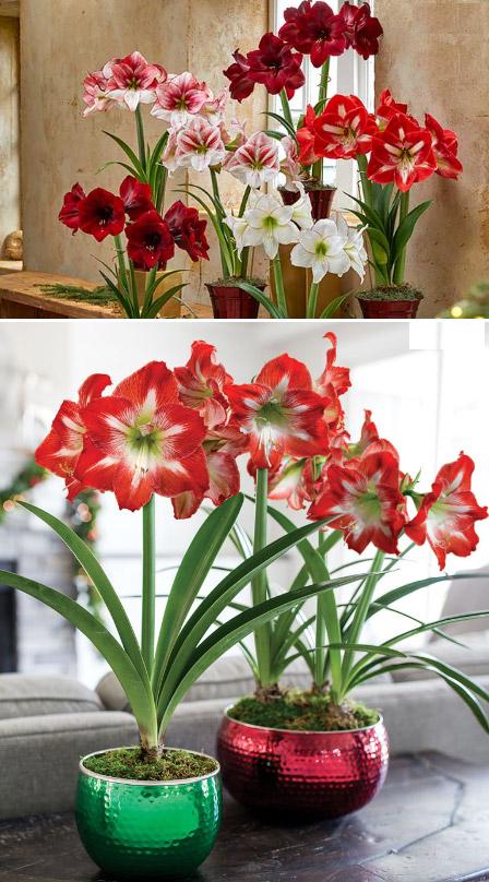 Amaryllis / Амариллис. Цветущие комнатные растения. Описание и названия.