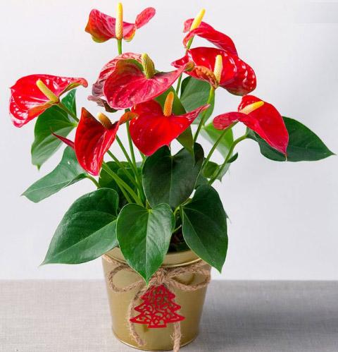 Anthurium / Антуриум. Цветущие комнатные растения. Описание и названия.