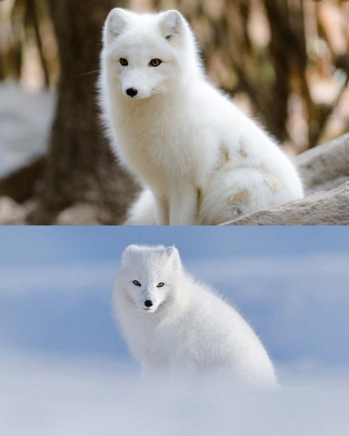 Arctic Fox / Песец, Самые милые животные