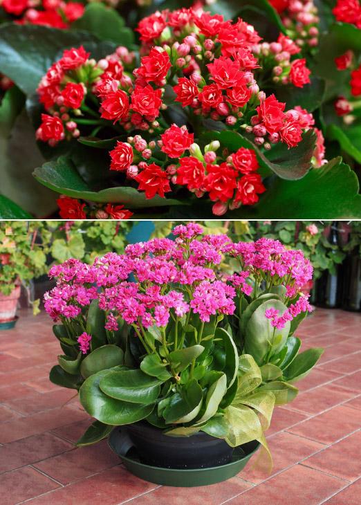 Kalanchoe / Каланхое. Цветущие комнатные растения. Описание и названия.