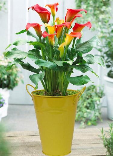 Calla / Калла. Цветущие комнатные растения. Описание и названия.