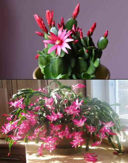 Schlumbergera x buckleyi / Рождественский кактус. Цветущие комнатные растения. Описание и названия.