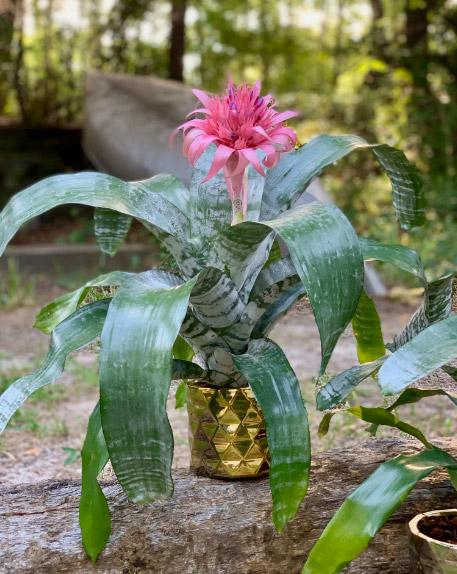 Aechmea fasciata / Эхмея полосатая. Цветущие комнатные растения. Описание и названия.