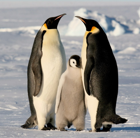 Императорский пингвин, Самые милые животные
