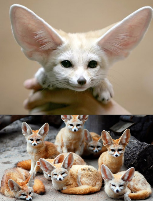Fennec fox / Фенек, Самые милые животные