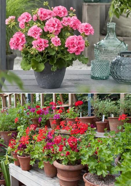 Pelargonium / Герань. Цветущие комнатные растения. Описание и названия.