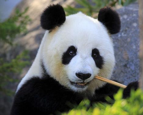Giant panda / Большая панда, Самые милые животные