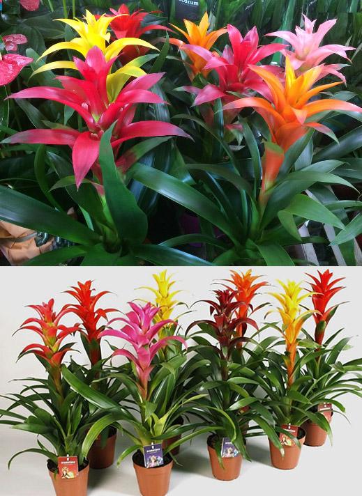 Guzmania / Гузмания. Цветущие комнатные растения. Описание и названия.
