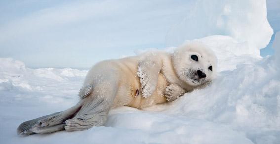 Harp seal / Гренландский тюлень, Самые милые животные