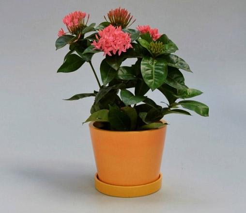 Ixora / Иксора. Цветущие комнатные растения. Описание и названия.