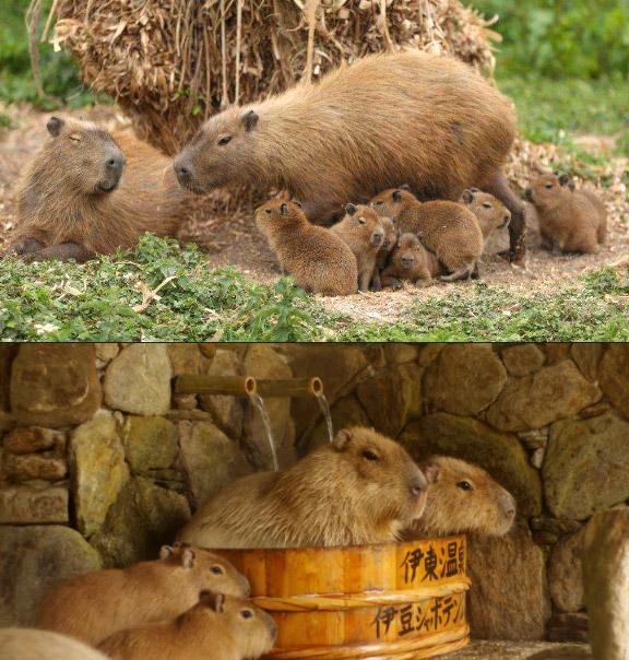 Капиба́ра, Самые милые животные