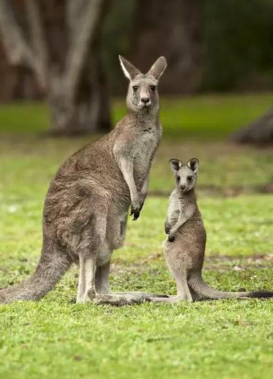 Kangaroo / Кенгуру, Самые милые животные
