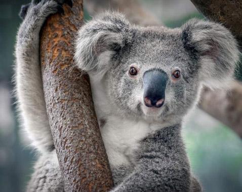 Коала, Самые милые животные