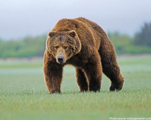 Кадьяк - самый большой медведь среди бурых медведей.