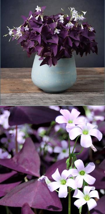 Oxalis or Purple Leaf Shamrock / Пурпурный трилистник. Цветущие комнатные растения. Описание и названия.