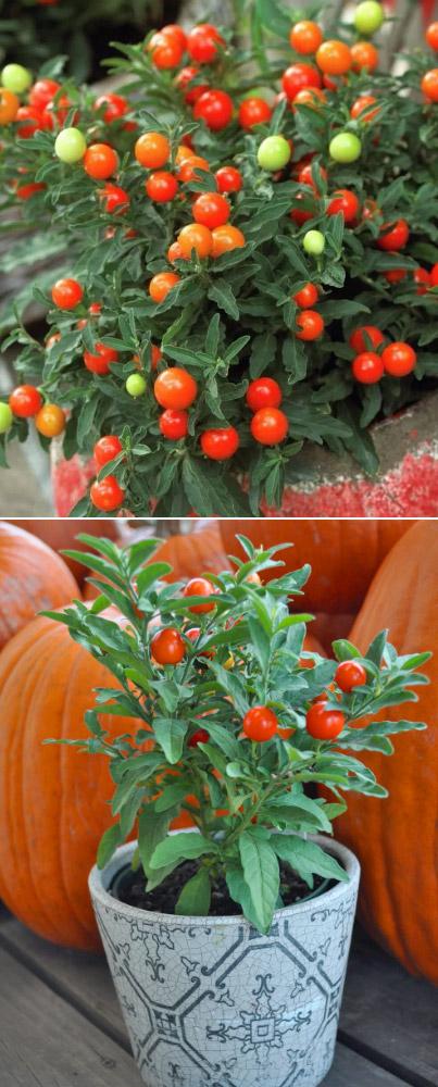 Solanum pseudocapsicum / JERUSALEM CHERRY / Паслён декоративный. Цветущие комнатные растения. Описание и названия.
