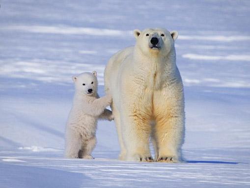 Самый большой медведь - Полярный медведь