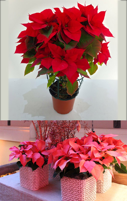 Пуансеттия / Рождественская звезда / Poinsettia. Цветущие комнатные растения. Описание и названия.