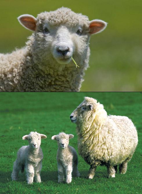 Овцы, Самые милые животные