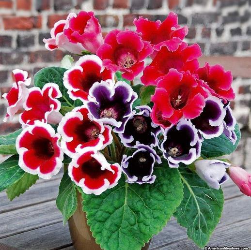 Sinningia speciosa / Синнингия красивая. Цветущие комнатные растения. Описание и названия.
