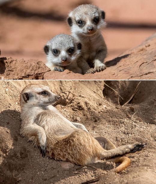 Meerkat / Сурикат, Самые милые животные