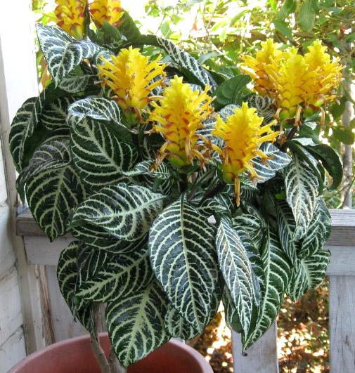 Афеландра оттопыренная (Zebra-plant). Цветущие комнатные растения. Описание и названия.